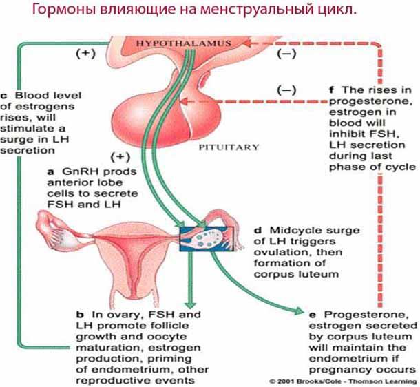 Гормоны влияющие на менструальный цикл.